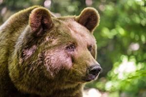 Обои Медведи Бурые Медведи Крупным планом Морда Взгляд Животные картинки