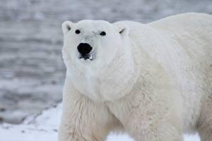 Обои Крупным планом Медведи Белые Медведи Морда Взгляд Животные картинки