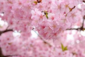 Фотография Вблизи Цветущие деревья Сакура Розовый