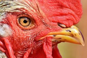 Обои Крупным планом Петух Глаза Клюв Смотрят Животные