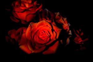 Обои Вблизи Розы Черный фон Красный Цветы