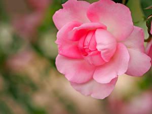 Фото Крупным планом Розы Лепестки Розовый Цветы