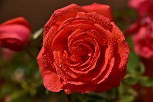 Обои Вблизи Розы Лепестки Красный Капли Цветы