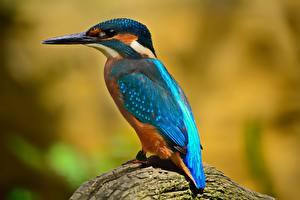 Картинка Обыкновенный зимородок Птицы Клюв Животные