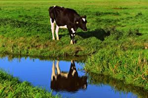 Фотографии Корова Луга Трава Отражение Животные