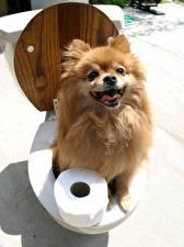 Картинки Оригинальные Собаки Туалет Шпиц Взгляд Животные