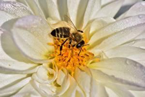 Картинка Георгины Вблизи Пчелы Насекомые