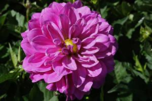 Фотография Георгины Крупным планом Фиолетовый Цветы