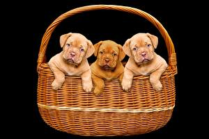 Обои Собаки Черный фон Корзина Щенок Втроем Бордоский дог Животные