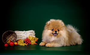 Фото Собаки Цветной фон Шпиц Корзина Животные