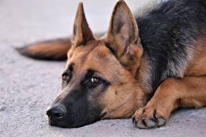 Картинки Собака Немецкая овчарка Вблизи Морда Взгляд Лапы Животные