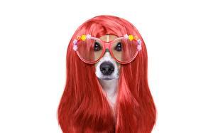 Картинка Собаки Волосы Очки Рыжий Белый фон Джек-рассел-терьер Животные