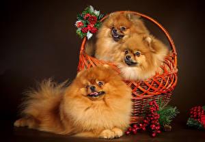 Фото Собаки Рябина Корзина Втроем Шпиц Смотрит Животные