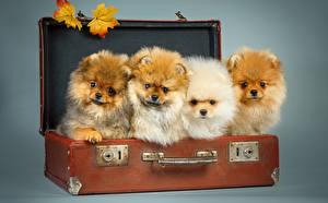 Картинка Собаки Чемодан Шпиц Листья Смотрит Животные