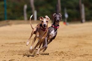 Картинка Собаки Двое Бег Песок Грейхаунд Животные