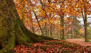 Картинка Англия Парки Осенние Деревья Ствол дерева Листья Мох Newbiggin Природа