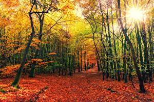 Фотография Леса Осень Деревья Листья Лучи света