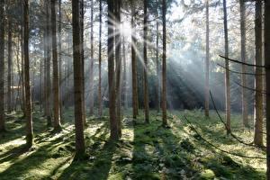 Обои Леса Ель Мох Лучи света Природа картинки