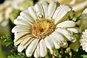 Обои Герберы Крупным планом Макросъёмка Капли Лепестки Цветы