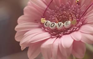 Картинка Герберы Любовь Вблизи Лепестки Розовый