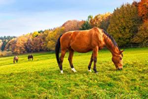 Картинка Луга Осенние Лошади Трава Животные