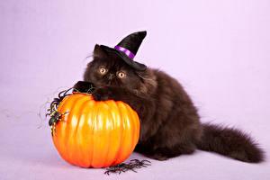 Фотографии Хэллоуин Тыква Кошка Пауки Цветной фон Шляпа Смотрят