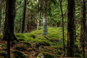 Картинка Хельсинки Финляндия Леса Дерева Мох Природа