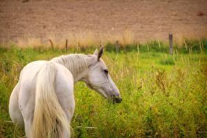 Картинка Лошади Белый Вид Хвост Животные