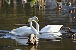 Картинки Озеро Птицы Лебеди 2 Животные