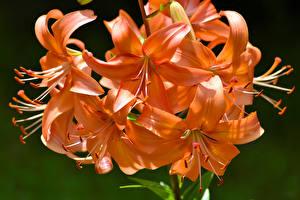 Фото Лилии Крупным планом Оранжевый tiger