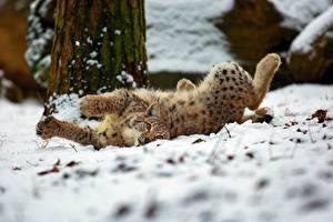 Обои Рыси Снег Животные картинки