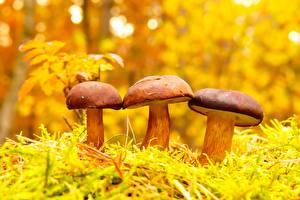 Фотография Грибы природа Три