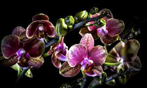 Фото Орхидеи Вблизи Черный фон Цветы