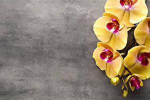 Фото Орхидеи Крупным планом Желтый Цветы