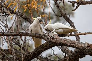 Картинки Попугаи Ветки Вдвоем Cockatoo Животные