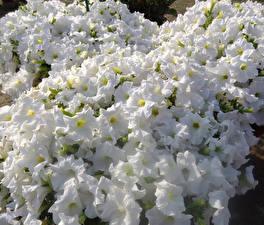 Фотографии Петунья Много Вблизи Белый Цветы
