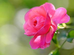 Картинка Розы Крупным планом Розовые цветок