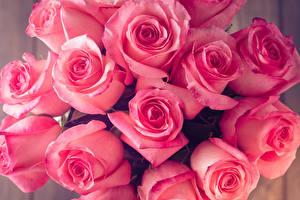 Фото Розы Крупным планом Розовый