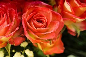 Фото Розы Крупным планом Розовый Лепестки Капли Цветы