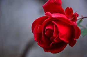 Картинки Розы Крупным планом Красные Лепестки Цветы