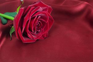 Фотография Розы Крупным планом Бордовые Цветы