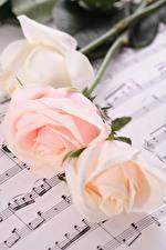 Фотографии Розы Ноты Трое 3 Цветы