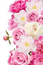 Фотографии Розы Пион Вблизи Белом фоне цветок
