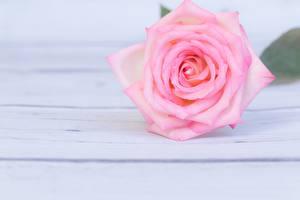 Фотография Розы Розовый