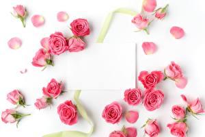 Фотографии Розы Шаблон поздравительной открытки Белом фоне Розовый Цветы