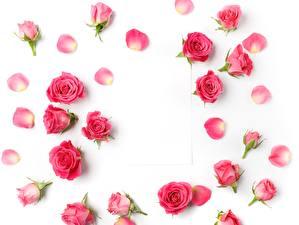Фотографии Розы Белый фон Розовый