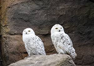 Фото Камень Совообразные Птицы 2 Животные