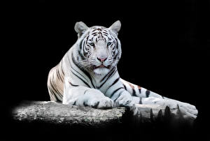 Фотография Тигры На черном фоне Белых Смотрит Животные