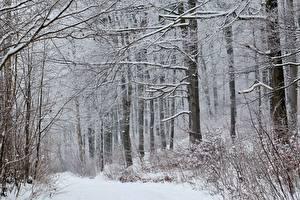Обои Зимние Леса Снег Деревья Природа