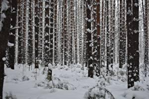 Картинка Зимние Леса Снег Деревья Ствол дерева Природа